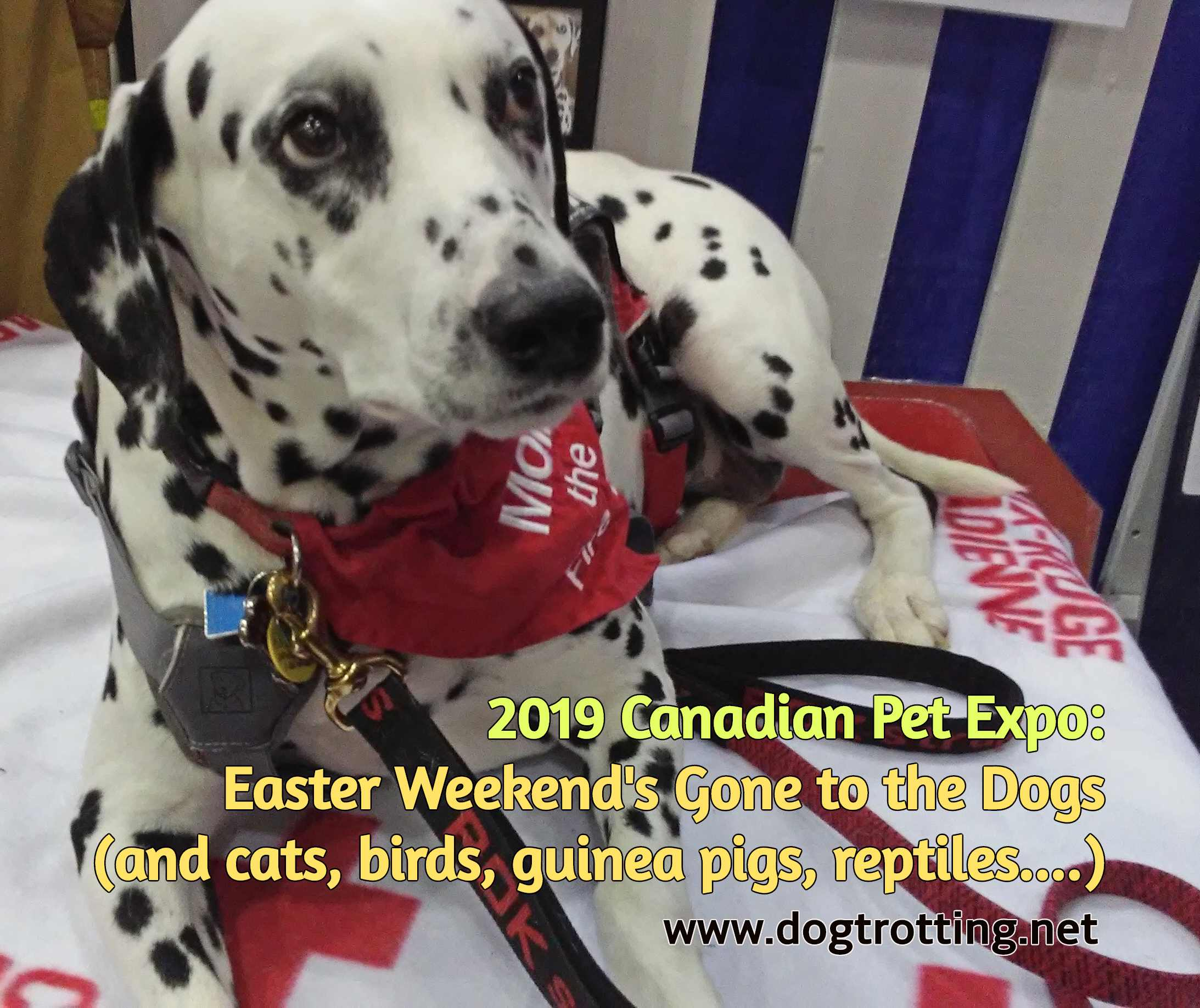 Dalmation firehouse dog at Canadian Pet Expo 2019