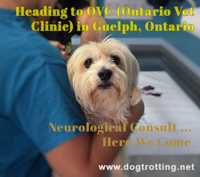 cute beige terrier being carried by vet tech with text: heading to Vet clinic for neurological consult