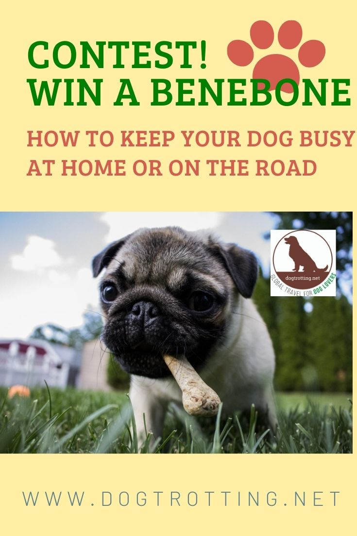 pug dog promoting dog chew contest